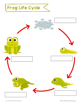 life cycle of the frog
