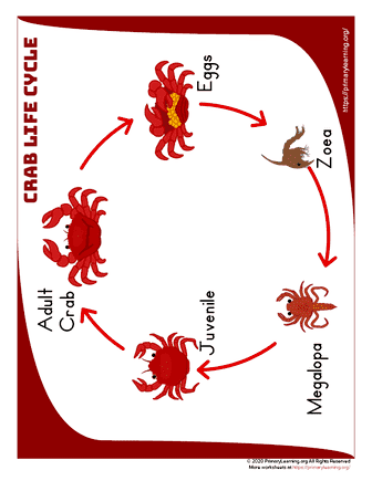 crab life cycle anchor chart