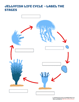 jellyfish life cycle - label the stages