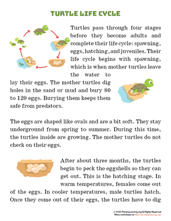 turtle life cycle article